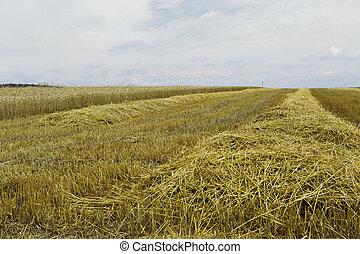 Grain harvest - barley, wheat, straw