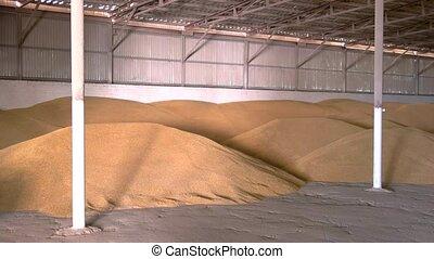 Grain in a hangar. Piles of yellow grains. Storing wheat at...