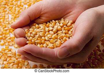 Grain of corn in hands.