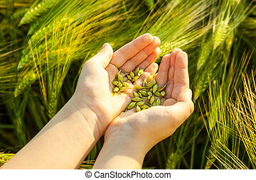 Grain of the wheat in hands of the kid