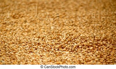 Grain of wheat