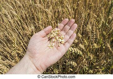 Grain of wheat on hand against ears in a growing field
