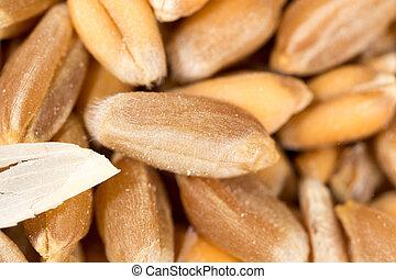 grain of wheat. super macro