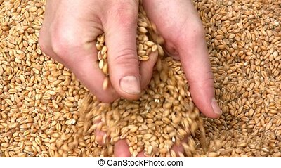Grain of wheat - Female hands with grain of wheat