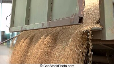 Grain slowly falls from truck. Big flow of yellow grains....