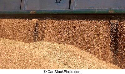 Grain truck unloading. Close up falling cereal grain.