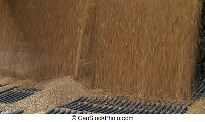 Grain truck unloading. - Wheat is unloaded from a truck at a...
