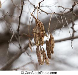 graines, hiver arbre