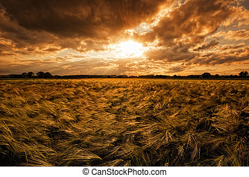grainfield, during, solnedgang