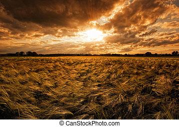 Grainfield during sunset