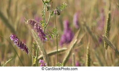 grainfield, met, bloemen