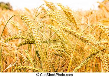 grainfield