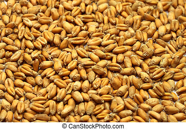 Grains of wheat close-up