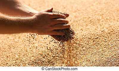 Grains of wheat in hands of the farmer.