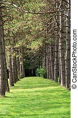 gramíneo, caminho, e, árvores pinho