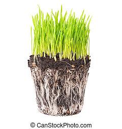 grama verde, com, raizes