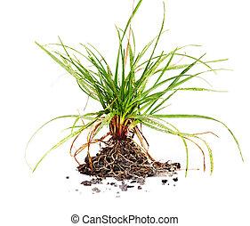 grama verde, com, roots.