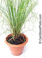 grama verde, em, pote, isolado, branco, fundo