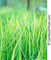 grama verde, ligado, campo