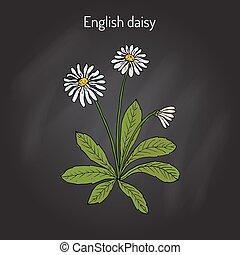 gramado, inglês, comum, bellis, margarida, perennis, ou