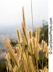 Gramineae grass on mountain