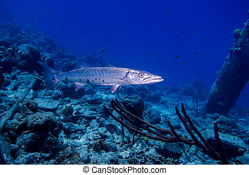 gran barracuda