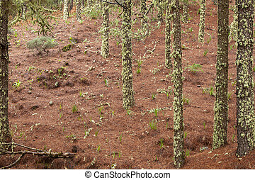 Gran Canaria, February - Gran Canaria, February, pine forest...