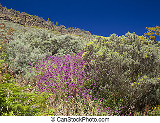 Gran Canaria, June, purple Canary Islands sage, Salvia ...