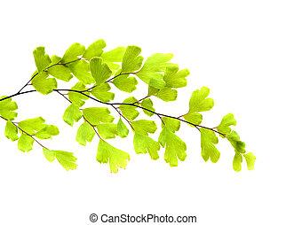 gran, flora, -, capillus-veneris, adiantum, canaria