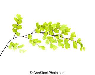 gran, flora, -, capillus-veneris, canaria, adiantum