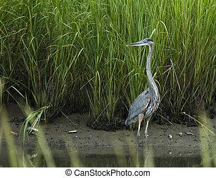gran heron azul, en, sal, pantano
