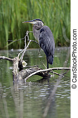 gran heron azul, perched, en, registro