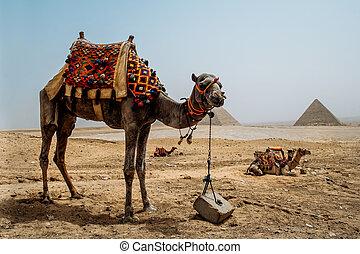 gran pirámide, giza, camello
