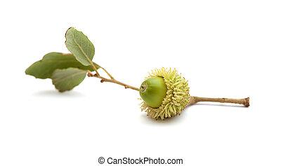 gran, quercus, flora, -, bellota, canaria, suber