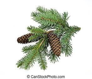 gran träd, filial, med, käglor