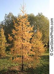 gran träd