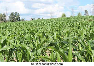 granaglie, fattoria, contro, cielo, campagna