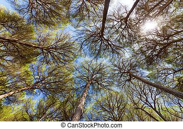 granangular, árboles de pino, vista