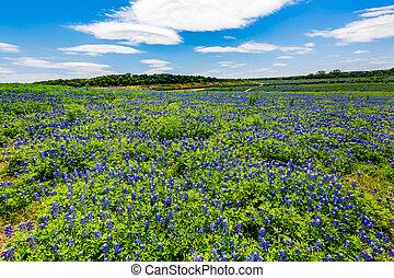 granangular, famoso, wildflowers, tejas, bluebonnet,...