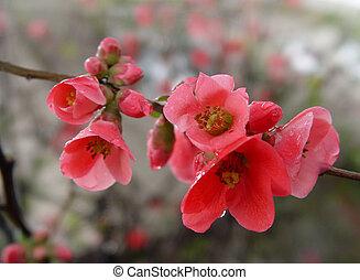 granatäpple, blomningen