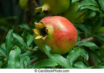 granatäpple, frukt, på, den, träd