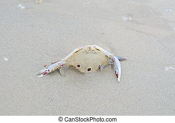 granchio, morto, spiaggia