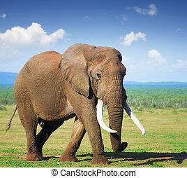 grand, éléphant, défenses