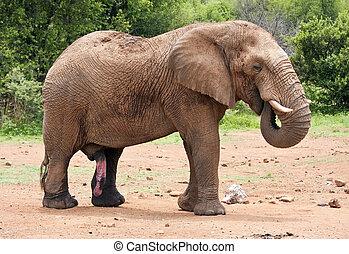 grand, éléphant, marche, dans, buisson