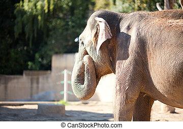 grand, éléphant, zoo