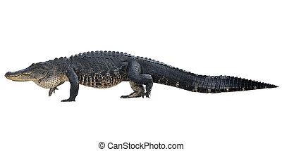 grand, alligator, américain