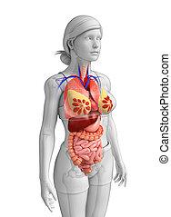 grand, anatomie, intestin