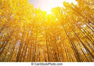 grand-angulaire, tremble, arbres, vue