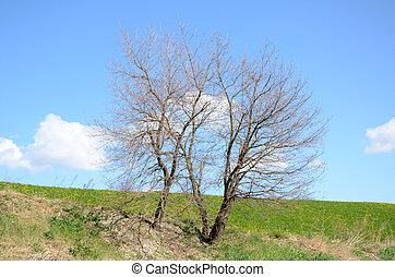 grand arbre, champ