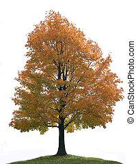 grand arbre, isolé, érable, solitaire